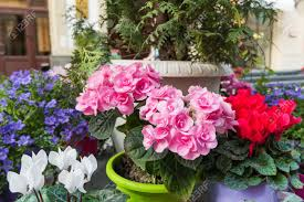 potted flowers potted flowers of pink azalea decoration with plants