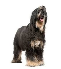afghan hound de 1 mes briard the briard is a herding dog bred to work but because he