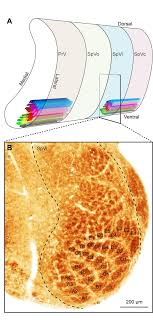 Sensory Mapping in Zebrin positive Modules in the Cerebellum