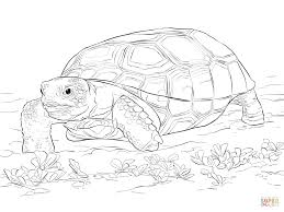 realistic gopher tortoise coloring page free printable coloring