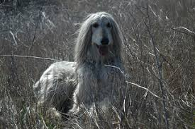 afghan hound weight afghan hound breed information and pictures on puppyfinder com