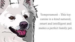 american eskimo dog intelligence american eskimo dog information youtube