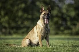 belgian shepherd diesel second chance kennels rescue dogs fife