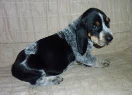 bluetick coonhound breeders ohio basset bleu de gascogne pups 5 weeks old basset hounds basset