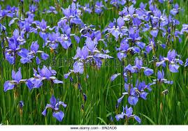 iris flowers iris siberica stock photos iris siberica stock images alamy