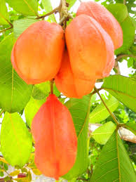 Ackee Fruit Tree - blog archives quiet creek herb farm u0026 of country living