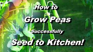 everything you need to know about growing peas seed to kitchen