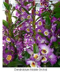 buy an orchid buy orchid plants dendrobium orchid dendrobium is a large