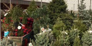 live christmas tree live christmas trees sanders nursery