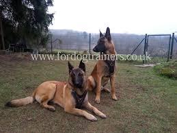 belgian shepherd uk padded dog harness for malinois bestseller leather dog harness