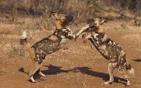 safari ltd african wild dog africa s wild dogs africa geographic magazine