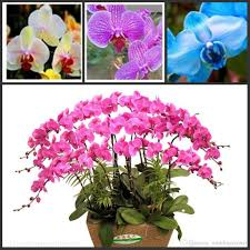 phalaenopsis moth orchid flower seeds bonsai plants seeds potted