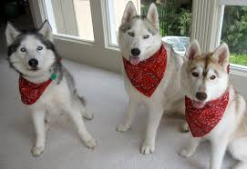 the bandana the new fashion trend dogs known all
