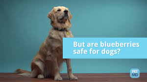 dogs and blueberries the best dog of 2017