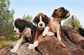 boxer dog 3 weeks pregnant desexing dogs u0026 puppies costs u0026 benefits of desexing