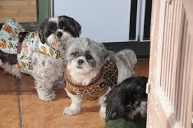 thanksgiving dog sweater dog clothes same shih tzu different day