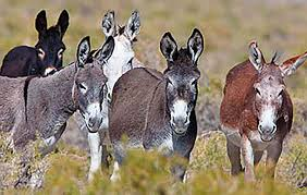 burros beloved beasts or bothersome burden kingman daily miner