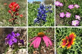 texas hill country wildflower identification guide
