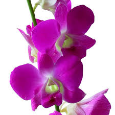 Dendrobium Orchid Dendrobium Orchid Dark Pink Wholesale Orchids