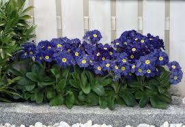 Blue Shades Primula Elatior Crescendo Blue Shades Perennial Biennial Benary