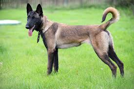 belgian sheepdog canada belgian malinois dog breed information pictures characteristics