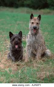 belgian sheepdog mix puppies dog belgian shepherd laekenois two deux 2 puppy puppies standing