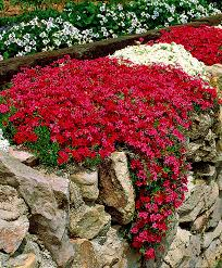 phlox flower buy hardy perennials now creeping phlox 2 varieties bakker