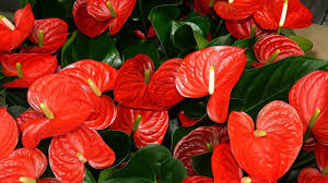 anthurium flower amazing and most beautiful anthurium flowers flamingo flowers