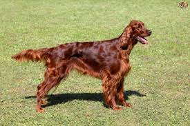 types of setter dog breeds irish setter dog breed information buying advice photos and facts
