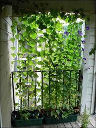 kletterpflanzen fã r balkon 17 best images about balkon on garten outdoor