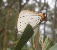 growing more butterflies in south east queensland gecko hills to fassifern field naturalists 2016