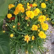 plante vivace soleil plantes vivaces coreopsis grandiflora u0027sunray u0027 coréopsis à