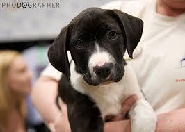 rescue a australian shepherd phodographer candid cincinnati pet and dog photography