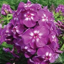Phlox Flower Plant Profile For Phlox Paniculata U0027purple Kiss U0027 Summer Phlox
