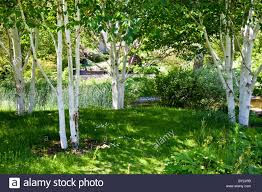 a small shady copse of silver birch trees in an country