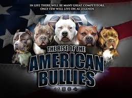 american pitbull terrier types welcome to benito u0026 vanessa u0027s real blue pitbulls pitbulls for