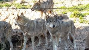 imagenes sorprendentes de lobos asociación de lobos a dolmenes viaje de fallas 2016