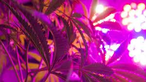 Led Grow Lights Cannabis Can You Grow Pot With Led Lights Grist