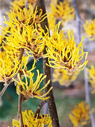 Top Flowering Shrubs - top fall flowers for your garden witch hazel flowering shrubs