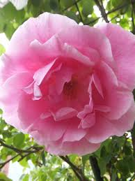 mme gregoire staechlin u2013 old fashioned climbing rose which