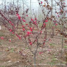 authentic safflower seed trees purple leaf pink seed leaves