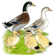 where can i buy duck 32 best efowl ducks images on paintings chicken and
