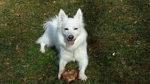 american eskimo dog small gallery pet sitting dogs u0026 cats cobb u0026 paulding county