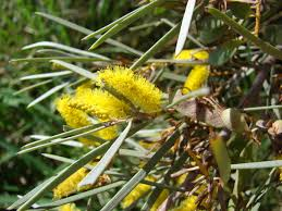 australian native plants for clay soil southern california inland empire trees u2013 climate ready trees