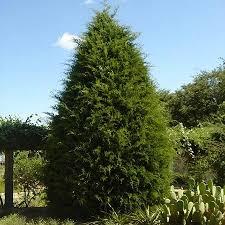 best 25 cedar trees ideas on pinterest imgur love tree shelf