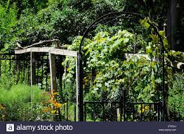 home grown grape vines and trellis in hillside backyard stock