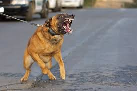 belgian shepherd us army belgian army dog images reverse search