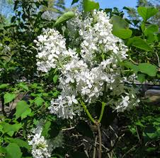 edge of the woods native plant nursery lily of the valley new hampshire garden solutions