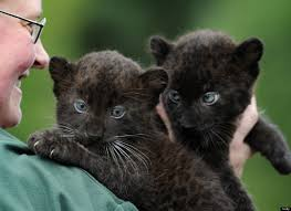 photos this week u0027s best in animals baby black panther twins