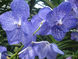 blue orchids blue orchids growing tips orchid flowers